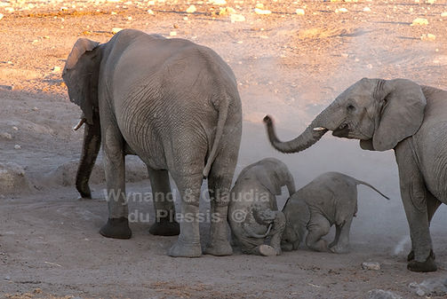 Elephant babies playing, Etosha, Namibia - elephants098