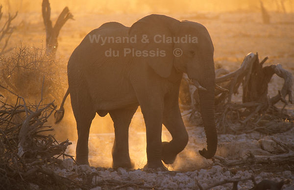 Elephant cow at sunset, Etosha: elephants106