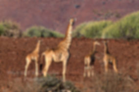 Giraffe in Damaraland, Namibia - wildlife022