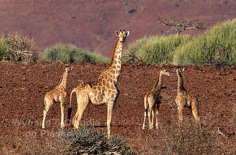 Giraffe in Damaraland, Namibia - wildlife022