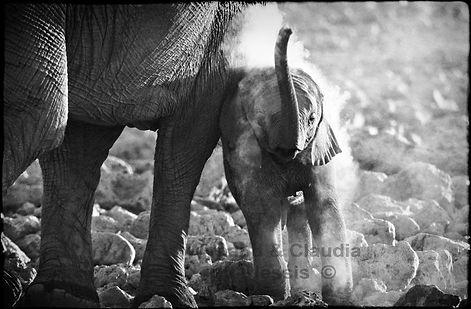 Elephant baby with mother, Etosha, Namibia _ Black-White035