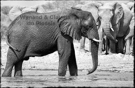 Elephant bulls drinking, Etosha, Namibia _ Black-White060