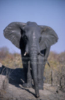 Elephant complete covered in mud, Etosha - elephants031