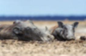 Warthog resting, Etosha, Namibia - wildlife039