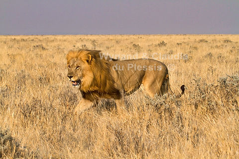 Male lion chasing off a rival, Etosha: lion024