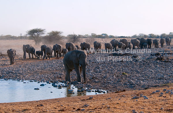 Elephant walking in single file to Okaukuejo waterhole, Etosha, Namibia - elephants003