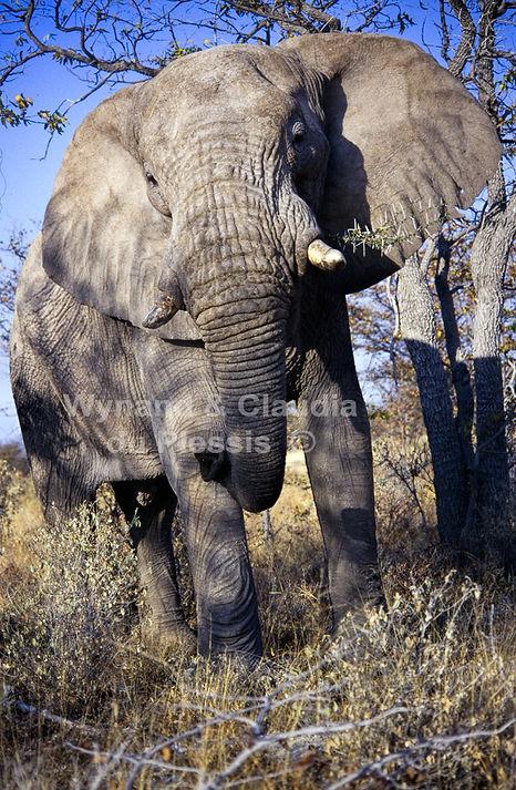 Elephant bull feeding, Etosha, Namibia - elephants047