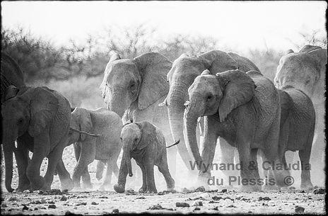 The big rush, Elephants in Etosha, Namibia _ Black-White061