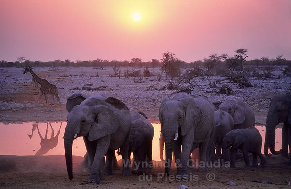 Elephants at sunset, Okaukuejo waterhole, Etosha, Namibia: elephants155