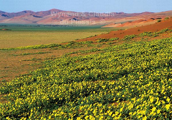 Tribulus flowers near Sesriem: landscape050