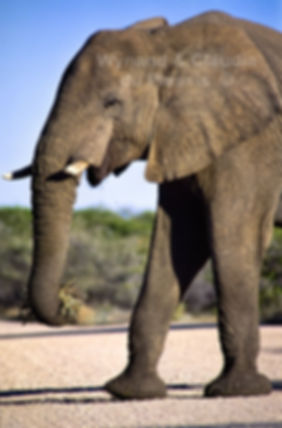 Elephant feeding, Etosha, Namibia - elephants048