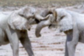 The white elephant of Nebrownii, Etosha, Namibia: elephants149