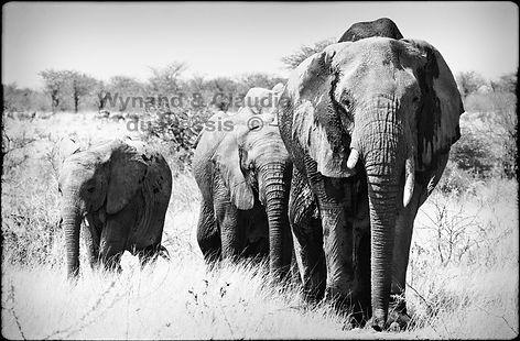 Elephants in single file, Etosha, Namibia _ Black-White030