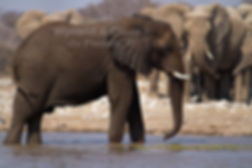 Elephants at waterhole, Etosha, Namibia: elephants135