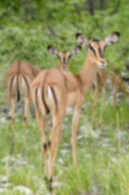 Blackface impala, Etosha, Namibia: wildlife051