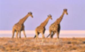 Giraffe trio, Etosha Pan, Namibia - wildlife011