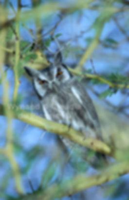Whiteface Owl, Etosha, Namibia - birds042