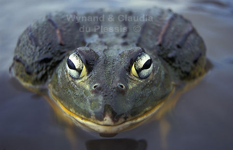 African bullfrog, Etosha, Namibia - wildlife040