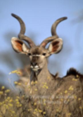 Young make kudu antelope, Etosha, Namibia: wildlife058