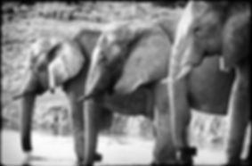 Elephants quenching their thirst, Etosha, Namibia _ Black-White031