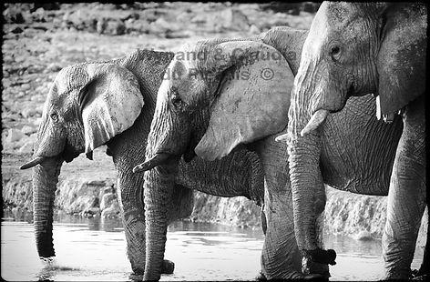Elephants quenching their thirst, Etosha, Namibia _ Black-White031