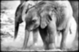 Elephant babies dust bathing, Etosha, Namibia _ Black-White047