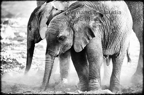 Elephant babies dust bathing, Etosha, Namibia _ Black-White047