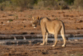 Lioness looking at game approaching a waterhole, Etosha: lion027