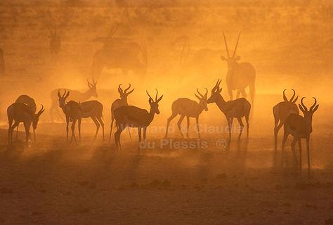 Springbok at sunset, Etosha, Namibia - wildlife015