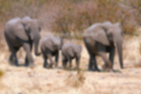 Elephants walking in single file, Etosha, Namibia: elephants129