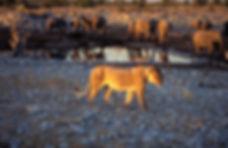 Lioness at Olifantsbad waterhole, Etosha: lion052