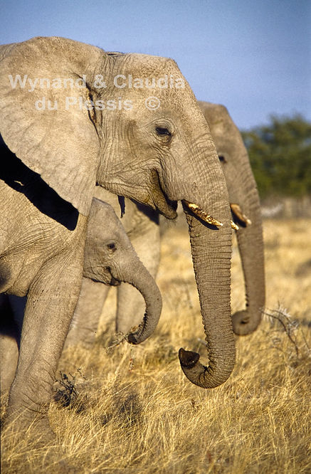 Elephants in Etosha, Namibia: elephants124