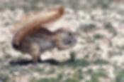 Ground squirrel shading his body while feeding in hot sun, Etosha: wildlife067