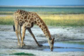 Giraffe drinking, Etosha Pan, Namibia - wildlife026