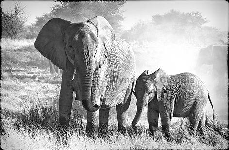 Elephant cow and calf feeding, Etosha, Namibia _ Black-White032