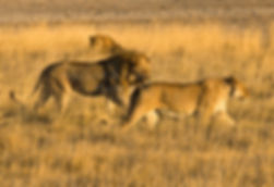 Lion mating couple, Etosha, Namibia: lion010