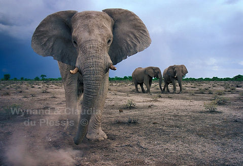 Imposing giants, Elephants in Etosha, Namibia - elephants004