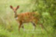Bushbuck ewe, Mahango Game Reserve, Namibia: wildlife068