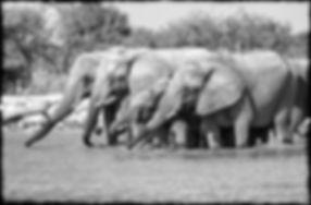 Elephants drinking, Etosha, Namibia _ Black-White006