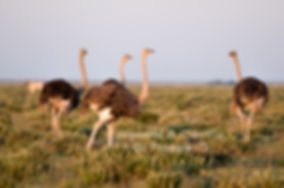 Ostrich on the Etosha plains, Namibia - birds007