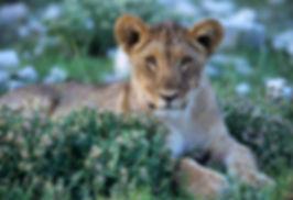 Lion cub, Etosha, Namibia: lion005