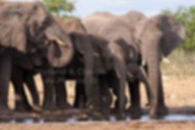 Elephants drinking, Etosha, Namibia: elephants108