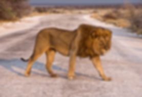 Lion in Etosha, Namibia: lion019