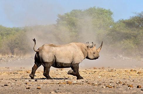Black rhino running, Etosha, Namibia - wildlife032
