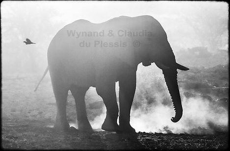Elephant dust bathing, Etosha, Namibia _ Black-White044