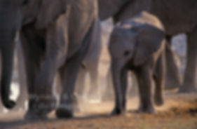 Elephant calf with mother, Etosha, Namibia - elephants083
