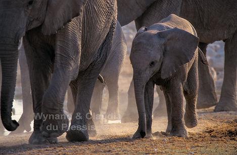 Elephant calf with mother, Etosha, Namibia - elephants083