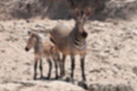 Hartmann's zebra, Hobatere, Namibia - wildlife014