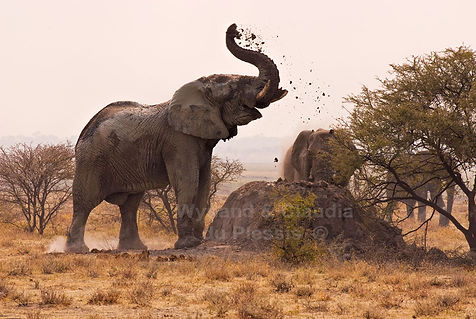 Elephant bull dust bathing, Etosha, Namibia - elephants026