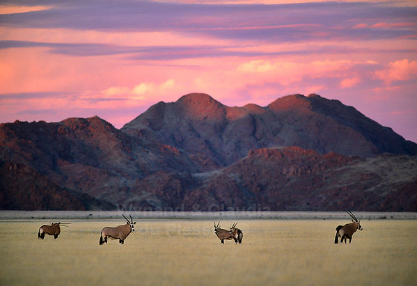 Gemsbok in the Namib Desert at sunset: landscape049